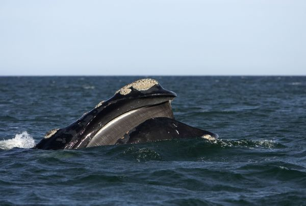 Southern Right Whale - Mouth open, showing baleen plates ...