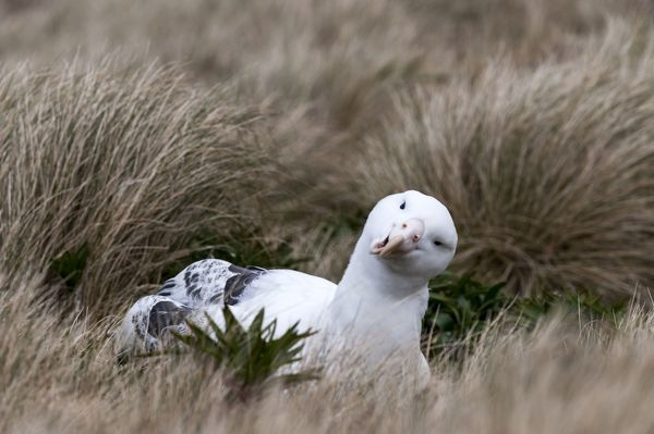 Southern Royal Albatross sitting on nest