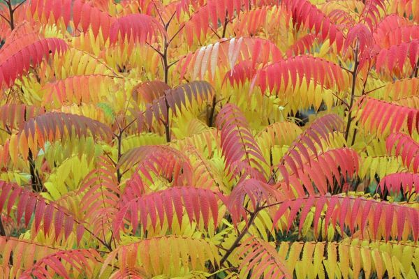 USH-1480 Stag's-horn SUMAC - leaves showing autumn colour North Hessen, Germany Rhus typhina Duncan Usher Please note that prints are for personal display purposes only and may not be reproduced in any way