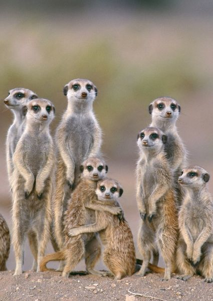 TD-1484-c Suricate / Meerkat - family with young on the lookout at the edge of its burrow