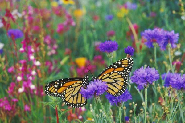 TOM-1055 Wanderer / MONARCH / Milkweed Butterflies - resting in garden of flowers. Danaus plexippus Tom & Pat Leeson Please note that prints are for personal display purposes only and may not be reproduced in any way