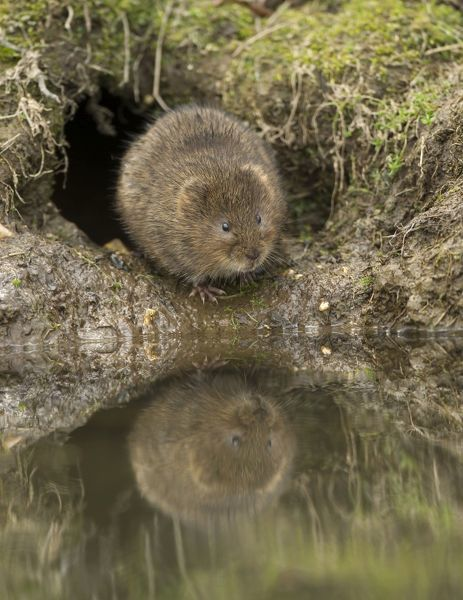 Water Vole sitting by burrow at stream with reflection April Date