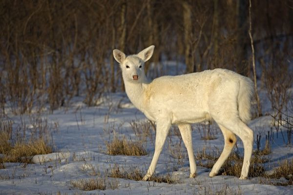 CAN-3074 White-tailed Deer - Doe white color phase, a rare color phase resulting from double recessive white genes which occurs rarely naturally New York, USA Odocoileus virginianus Their numbers on this reserve increased due to artificial selection