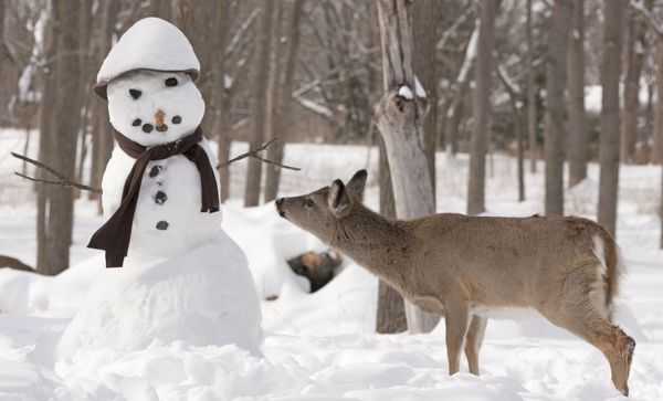 White-tailed Deer with snowman Date