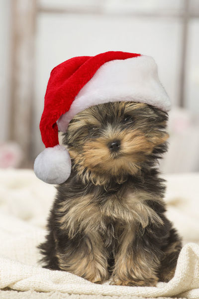 Yorkshire Terrier Puppy Dog Indoors Wearing Christmas Hat Digital