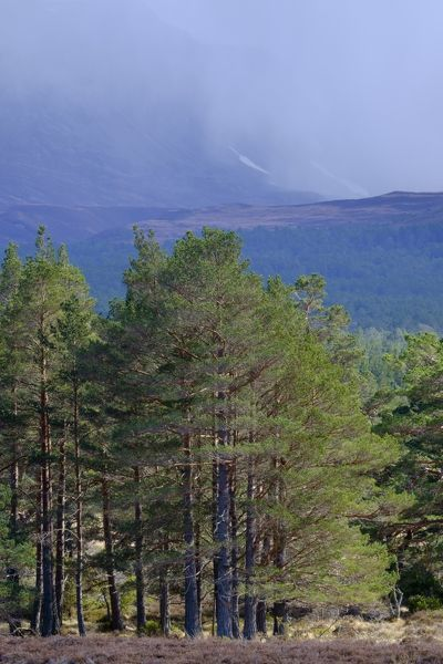 Scotland, Scottish Highlands, Cairngorms National Park. The Caledonian Forest of the Rothiemurchus estate with the Cairngorm Mountains in the distance engulfed in a rain / snow storm