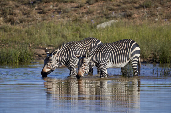 Two Cape Mountain Zebra (Equus zebra zebra) drinking with reflection, Mountain Zebra National Park, South Africa, Africa