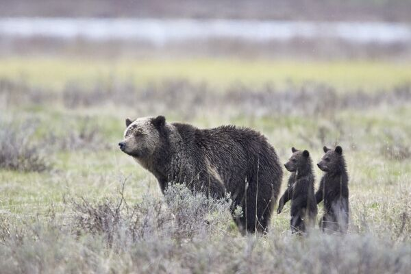 Grizzly Bear (Ursus arctos horribilis) sow and two cubs of the year or spring cubs standing