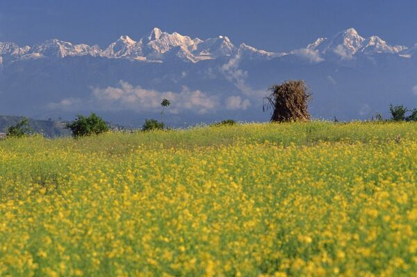 Landscape Of Yellow Flowers Of Mustard Crop And The Snow Capped