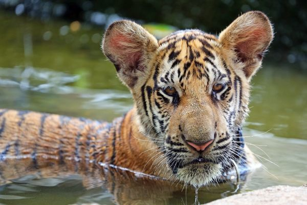 Cute tiger cub playing in the water at thetiger temple in cute tiger cub playing in the water at thetiger temple in kanchanaburi thailand altavistaventures Images