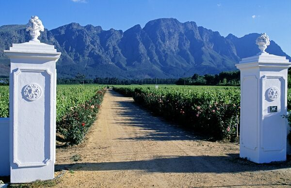 White stuccoed pillars at the entrance to Bellingham Vineyard Entrance to Bellingham Vineyard, Franschoek, Western Cape, South Africa