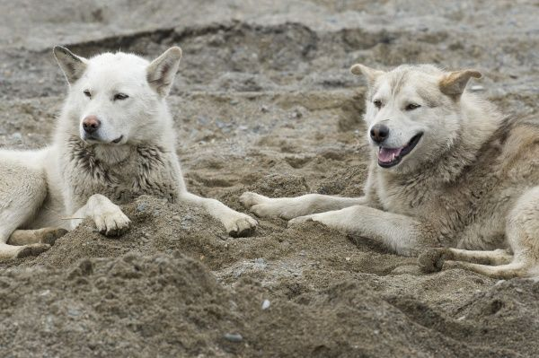 Inuit Settlement with two local Captive Huskie dogs watching a whale cleanse, Lorino Village (Chukotskiy Peninsular) Russia, Asia