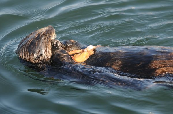 southern sea otter (enhydra lutris nereis) eating an octopus, monterey, California, usa,east pacific ocean, national marine sanctuary, endangered species