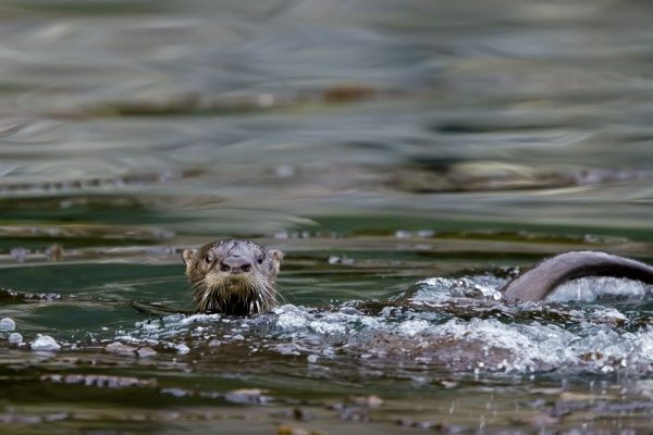 An adult North American river otter (Lutra canadensis) in th eInian Islands, Southeast Alaska, USA