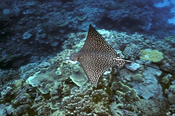 Spotted eagle ray, Aetobatus narinari, Rongelap, Marshall Islands, Micronesia (RR)