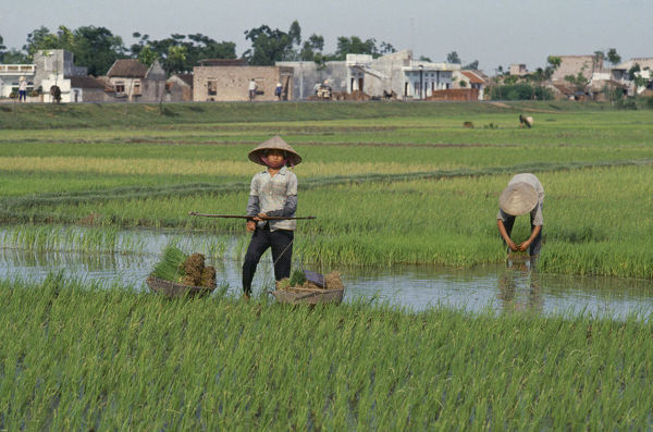20046547. VIETNAM North Farming Workers in rice fields