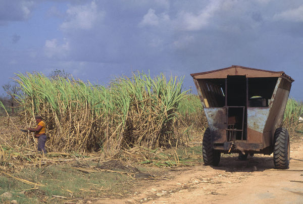 20068980. CUBA Central A wagon on the road and a man harvesting sugar cane using a machete