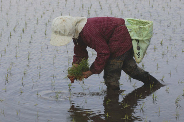 20072204. JAPAN Chiba Tako An elderly woman planting rice by hand.Fumiko Sase 74 years old