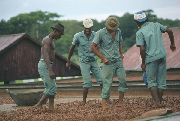 20072688. BRAZIL Agriculture Plantation workers treading cocoa beans spread out to dry