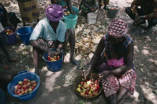 20075210. GAMBIA Agriculture Women seperating the cashew nut from the fruit