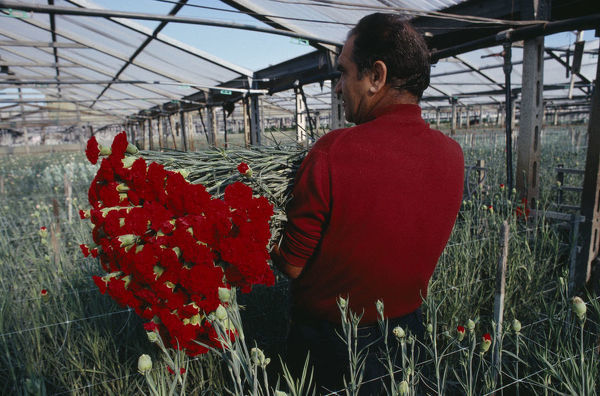 20079713. ITALY Campania Ercolano Man picking red carnations growing under glass