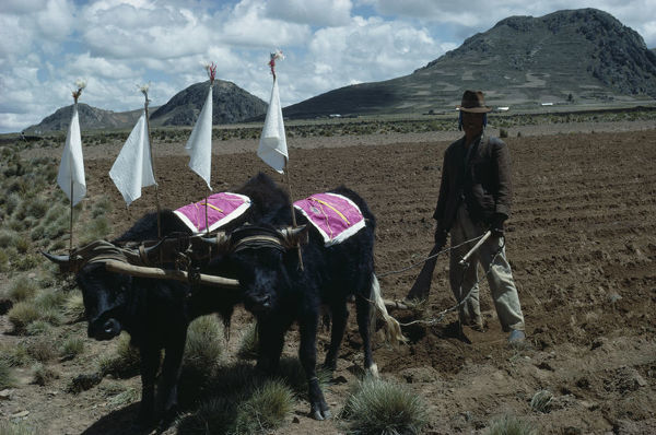 BOLIVIA, Altiplano Aymara / Quechua man ploughing field with cattle ready to plant