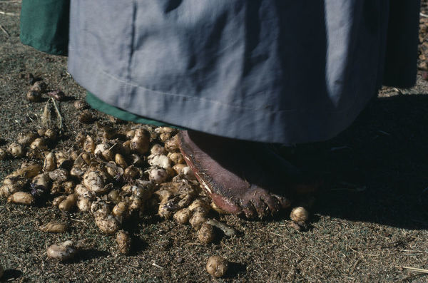 BOLIVIA, Altiplano Aymara woman stamping on potatoes which have been frozen then