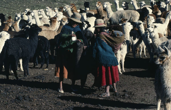 BOLIVIA, Collpa Huata Two women Llama herders feeding a Llama with a cup