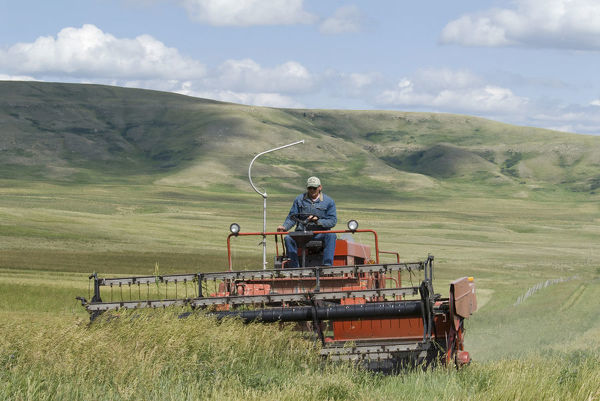 Canada, Alberta, Porcupine Hills, Harvesting feed oats on a ranch near the Cowboy Trail