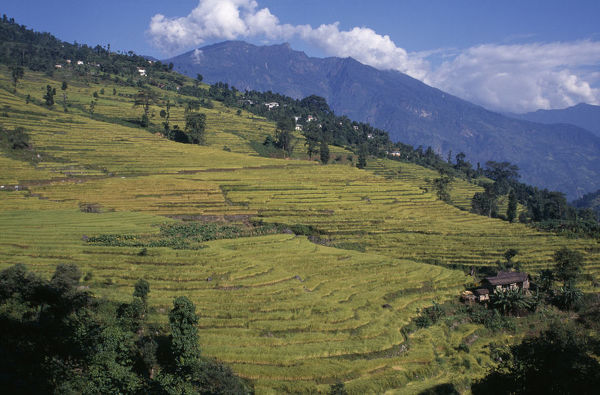 EyeUbiquitous_. india, sikkim, agriculture, rice terraces on hillside in