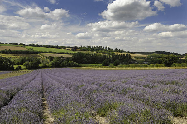 Lavender field at Castle Farm Shoreham Kent England