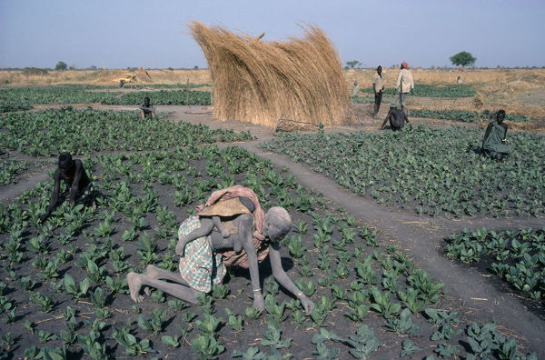 Sudan, Agriculture, Farming Dinka tending tabacco crop