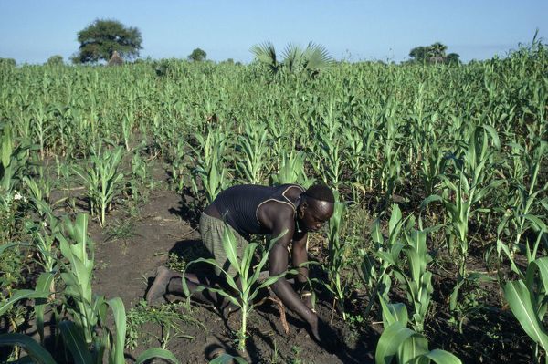 Sudan Dinka man tending maize and other crops