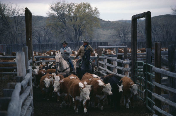 USA, Wyoming Cowboys with cattle in cor-ral