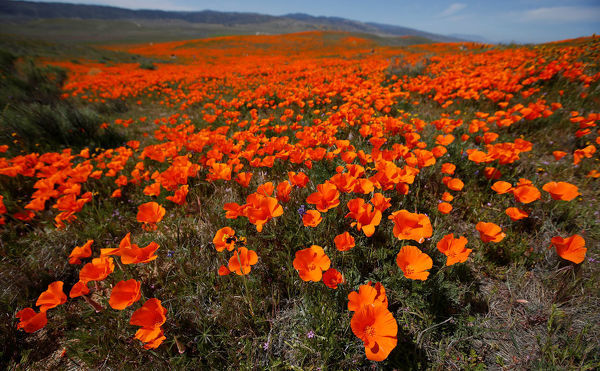 Poppies Are Pictured At The Antelope Valley California