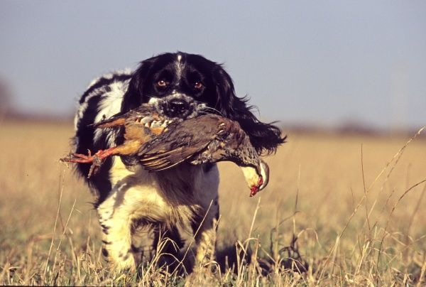 English Springer Spaniel retrieving Red-legged Partridge Northamptonshire winter