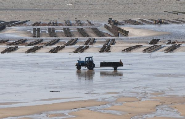 90450-00121-773. View of oyster beds with tractor