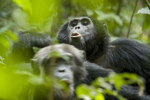 Africa, Uganda, Kibale National Park, Ngogo Chimpanzee Project. Male chimpanzees pant-hoot in response to distant calls from other chimps