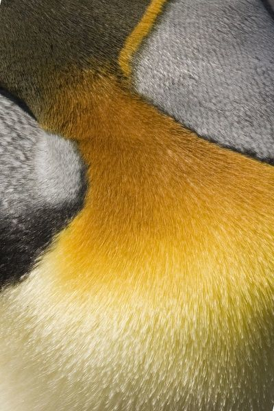 Antarctica, South Georgia, Salisbury Plain. Close-up of king penguin breast feathers