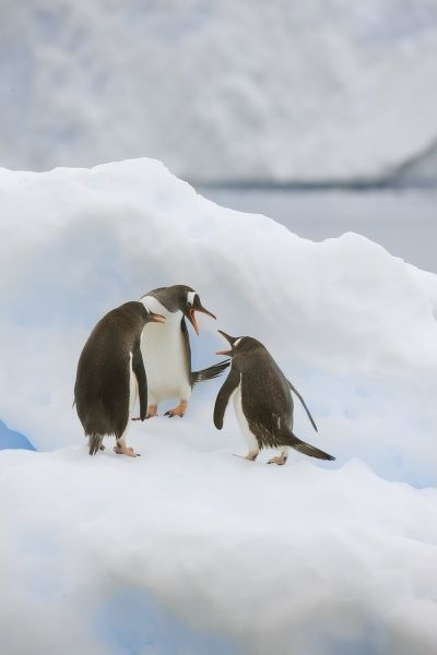Antarctica, Neko Harbor. Three gentoo penguins (Pygoscelis papua) seem to be voicing their opinions during a brief squabble on an iceberg Credit as