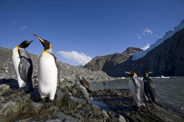 Antarctica, South Georgia Island (UK), King Penguins (Aptenodytes patagonicus) on shoreline under tidewater glacier in mountains along coast at Gold Harbour