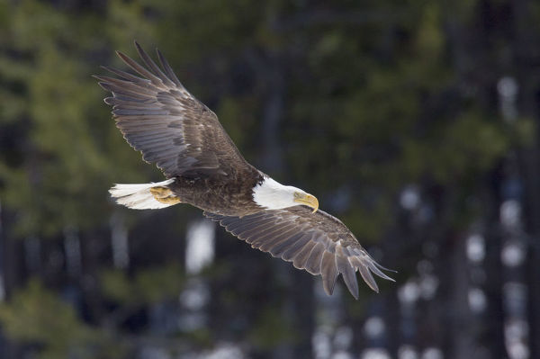 Bald Eagle, winter flight