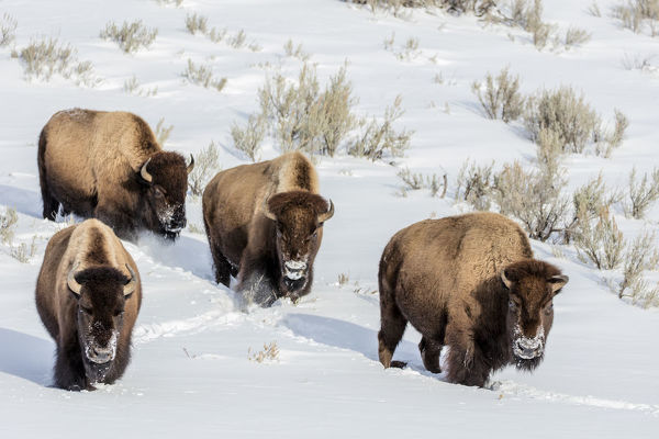 Bison bulls in winter in Yellowstone National Park, Wyoming, USA