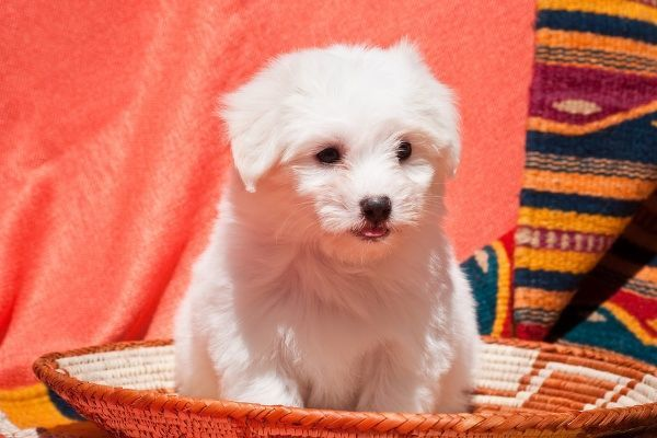 Coton de Tulear puppy sitting in an Indian Basket on a Indian blanket
