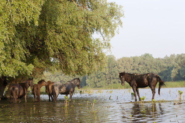 The free roaming horses of Maliuc. In the Delta horses roam free and sometimes are considered true wild horses. Most of the Danube delta is protected by the biosphere reserve, national park, Ramsar, and UNESCO