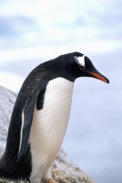 Gentoo Penguin on ledge with ice in Antarctica Peninsula wildlife birds