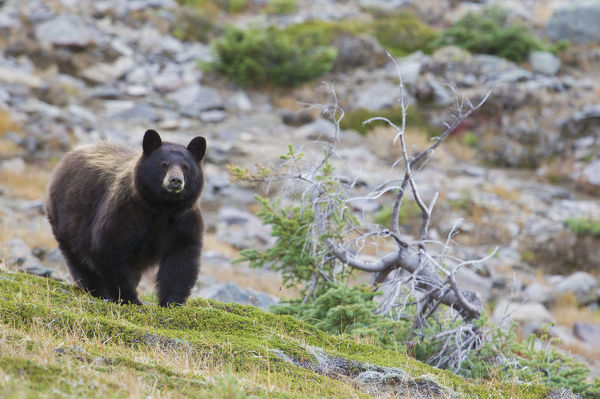 Grizzly Colored Black Bear