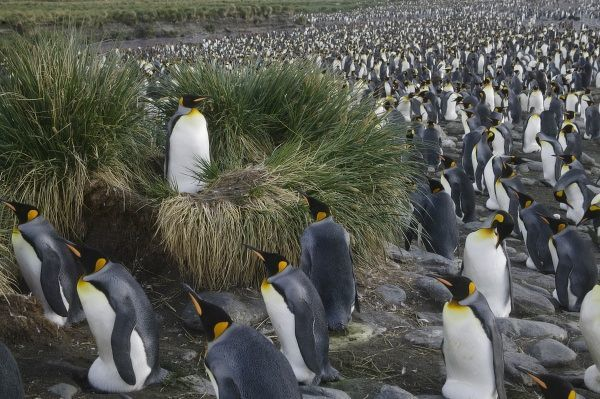 King Penguin (Aptenodytes patagonicus), Gold Harbor, South Georgia, Antarctica