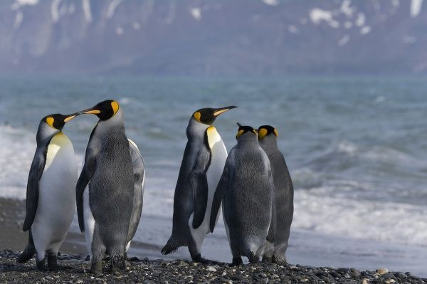 King Penguin (Aptenodytes patagonicus) on the beach, Salisbury Plain, South Georgia, Antarctica