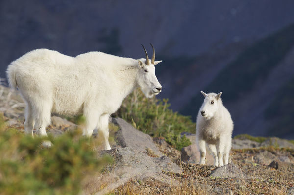 Mountain Goats; Nanny & Kid